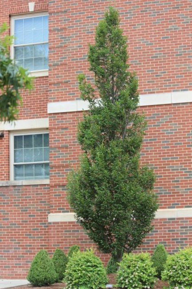 Photo -  The hornbeam tree is well adapted to our climate and pest free.  [PHOTO PROVIDED/OSU EXTENSION]