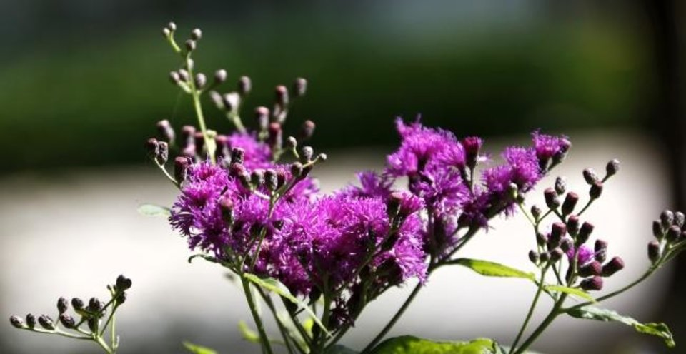 Photo -  Ironweed's beautiful hue adorns a spot at Myriad Botanical Gardens in downtown Oklahoma City. [JIM BECKEL/THE OKLAHOMAN]