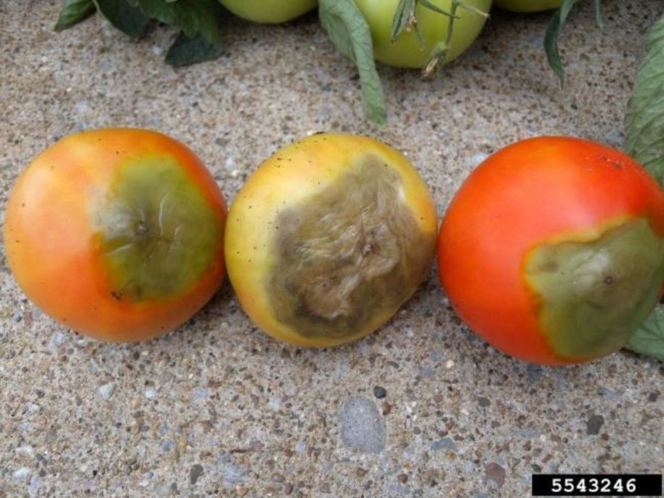 Photo -  Blossom End Rot can decrease tomato harvest. [PHOTO PROVIDED BY BRENDA KENNEDY/BUGWOOD.ORG]
