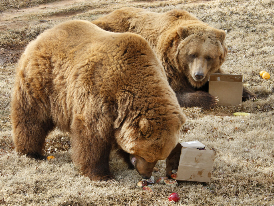 Photo - Grizzly bears, Will and Wiley enjoy boxes filled with fruits and vegetables during a Groundhog Day ceremony at the Oklahoma City Zoo Thursday, February  2, 2012. Photo By Steve Gooch, The Oklahoman
