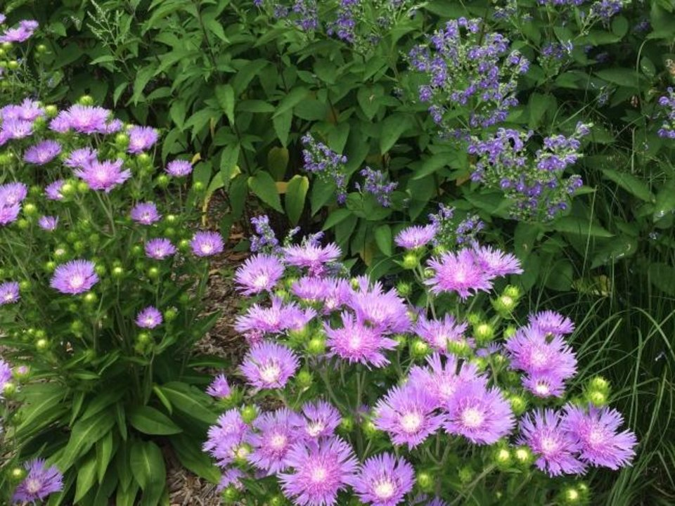 Photo -  Peachie's Pick is a superior version of the Stokes aster, here paired with Scutellaria incana. [ADRIAN HIGGINS/THE WASHINGTON POST]