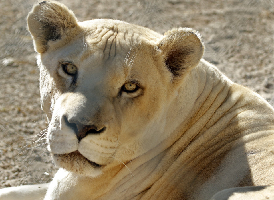 Photo -  A white lion watches guests at Greater Wynnewood Exotic Animal Park. [Photo by Steve Sisney, The Oklahoman]