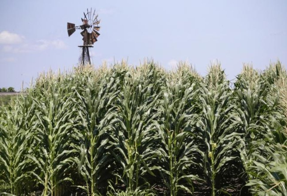 Photo -  A field of corn grows in front of an old windmill in Pacific Junction, Iowa. Severe planting delays across the Corn Belt have resulted in only a fraction of the normal crop being planted so far. [AP FILE PHOTO]