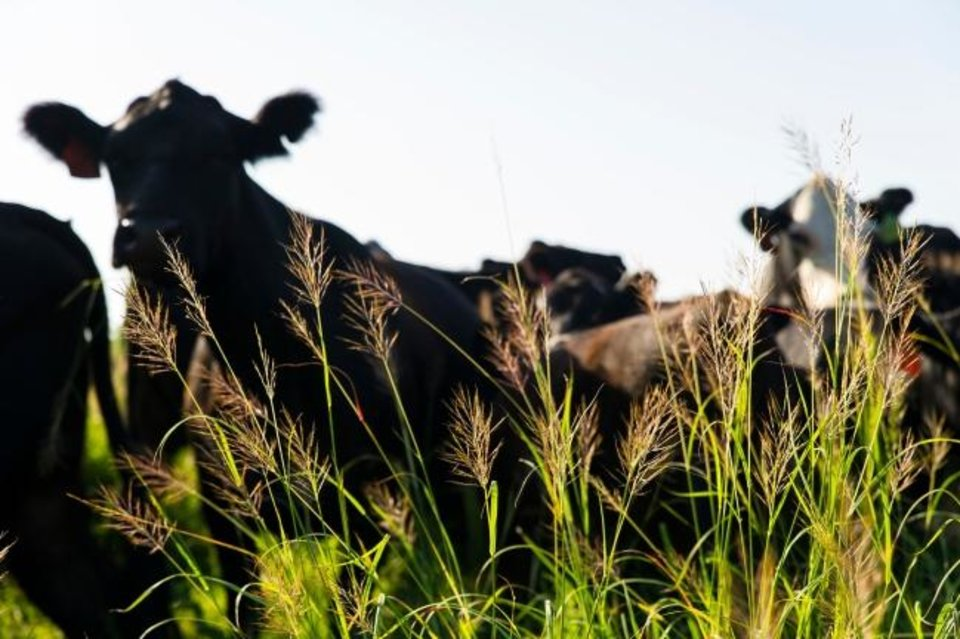 Photo -  A cow herd is pictured on the South Range, west of Stillwater. Oklahoma's cattle industry has fared better than other parts of the state's farming industry in recent years, officials say.