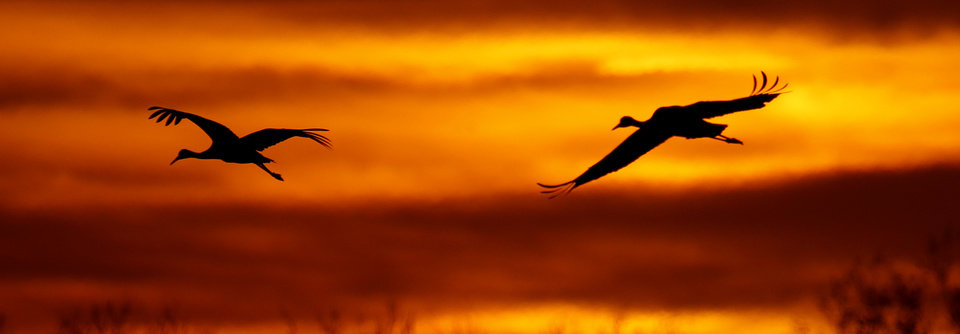 Photo -  Sandhill cranes fly over the Salt Plains National Wildlife Refuge. [PHOTO BY STEVE GOOCH, THE OKLAHOMAN]