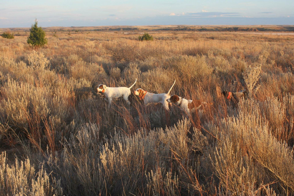 Photo -  Four different breeds of bird dogs on point last quail season in northwest Oklahoma. [PHOTO BY JAMES DIETSCH]