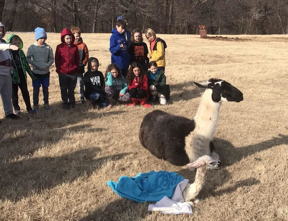 Photo -  Students at Keystone Adventure School and Farm witnessed a mother llama, Juliet, give birth to a new baby llama this month. Shown standing from left are Hayden Thompson, Rex Dolansky, Conrad Gragg, Harvey Gray-Adams, Jack Wetwiska, Landon Smith, Tanner Magee, Louis Cunningham and Owen Gragg. Kneeling from left are Preslie Lichtenberger, Reggae Coshow, Lucy Lichtenberger and Mallory Marks. [PHOTO PROVIDED]