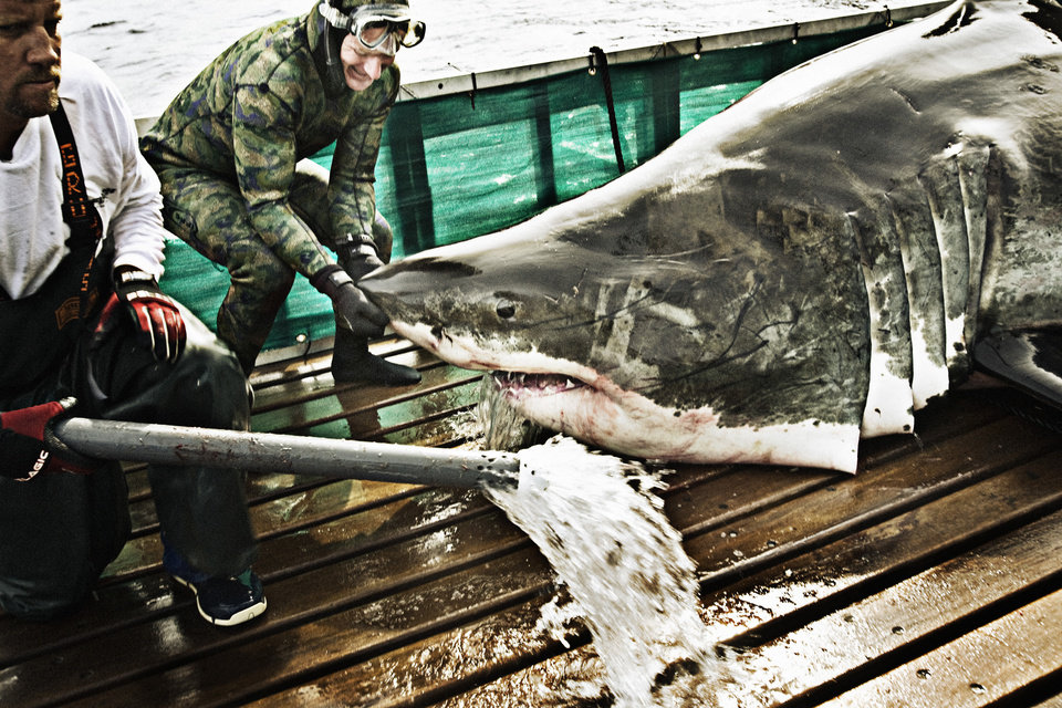 Photo -  Guadalupe Island, Mexico:  Crew member, Jody Whitworth lifts the nose of a great white shark while Captain Brett McBride removes the hydration hose that keeps the shark alive on deck. (photo credit: © National Geographic Channel/ Chris Ross)