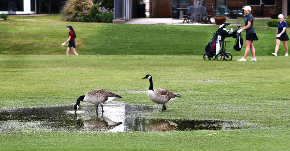 Photo - A pair of geese drink from a pool of water on the fairway as golfers, in background,  search for a player's ball in a drain culvert  at Class 4A girls golf state tournament at Hefner South golf course on Wednesday, May 2, 2019.  [Jim Beckel/The Oklahoman]