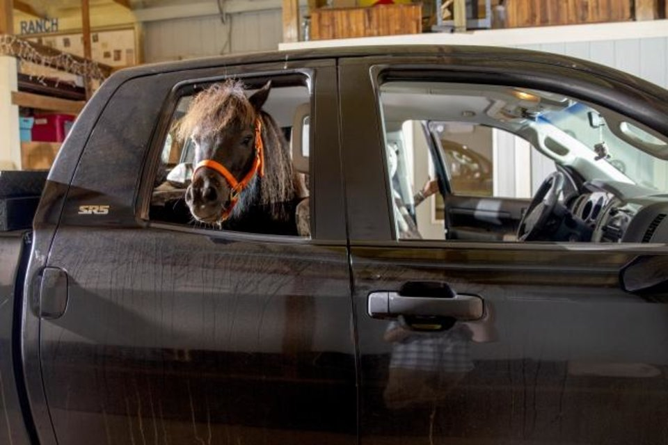 Photo -  BB, the miniature horse Oklahoma State University has adopted as a mascot for gameday, stands in the back seat of Rachel Royston's truck at Turning Point Ranch in Stillwater, Okla., Tuesday, Sept. 3, 2019. [Bryan Terry/The Oklahoman]
