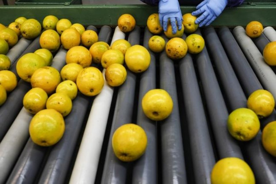 Photo -  A worker sorts navel oranges at a facility in Florida. [EVE EDELHEIT/BLOOMBERG]
