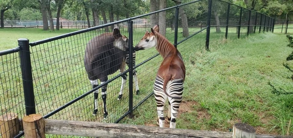 Photo - The OKC Zoo's new okapi Bosomi, right, gets to know his potential new mate, Kayin. [Tracey Dolphin/OKC Zoo]