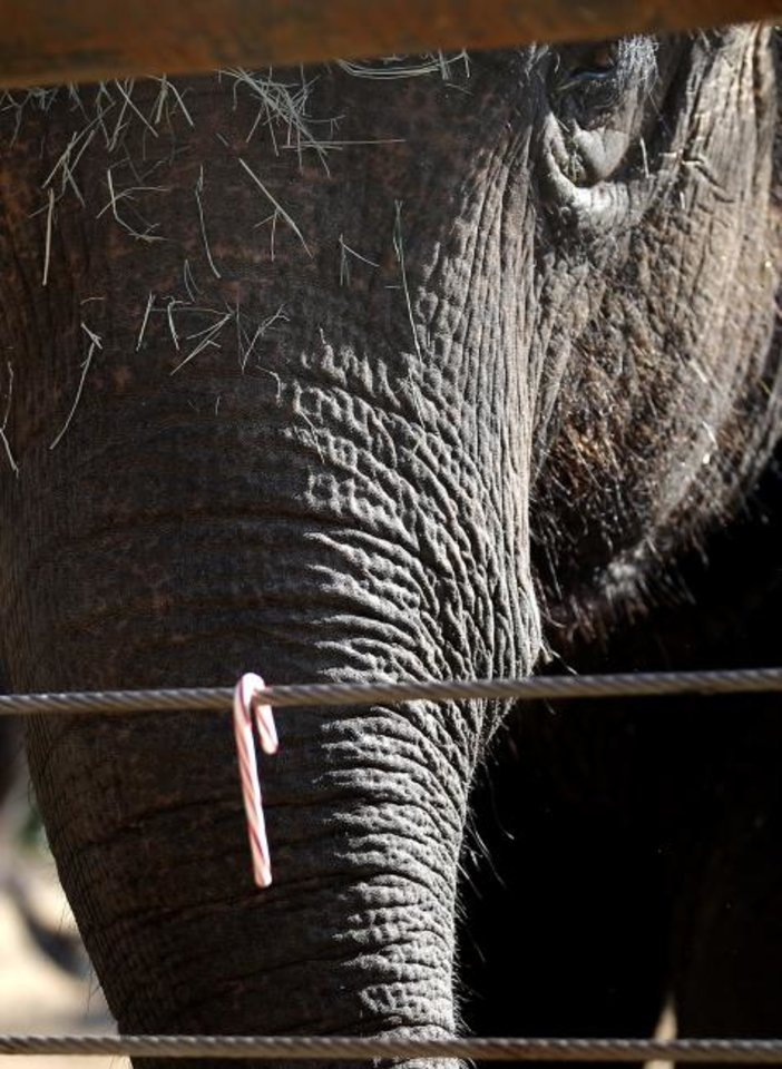 Photo -  An elephant looks at a candy cane during Santa Delivers, the annual holiday tradition where Santa Claus brings enrichment gifts to wild life at the Oklahoma City Zoo and Botanical Garden.  [Sarah Phipps/The Oklahoman]