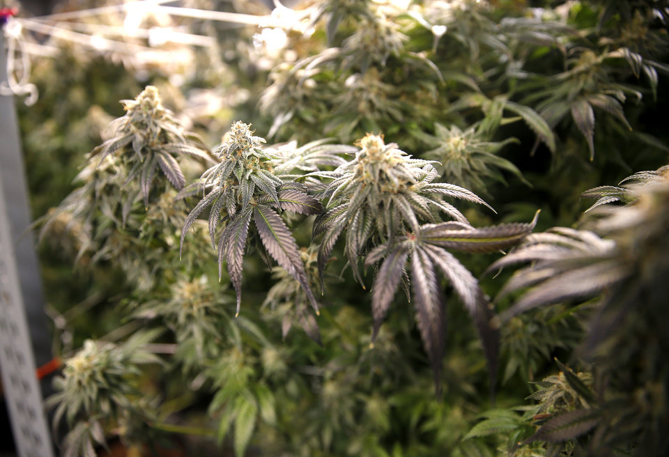 Photo - Marijuana is pictured at a growing facility in Hollis, Okla., Wednesday, Sept. 25, 2019. [Sarah Phipps/The Oklahoman]