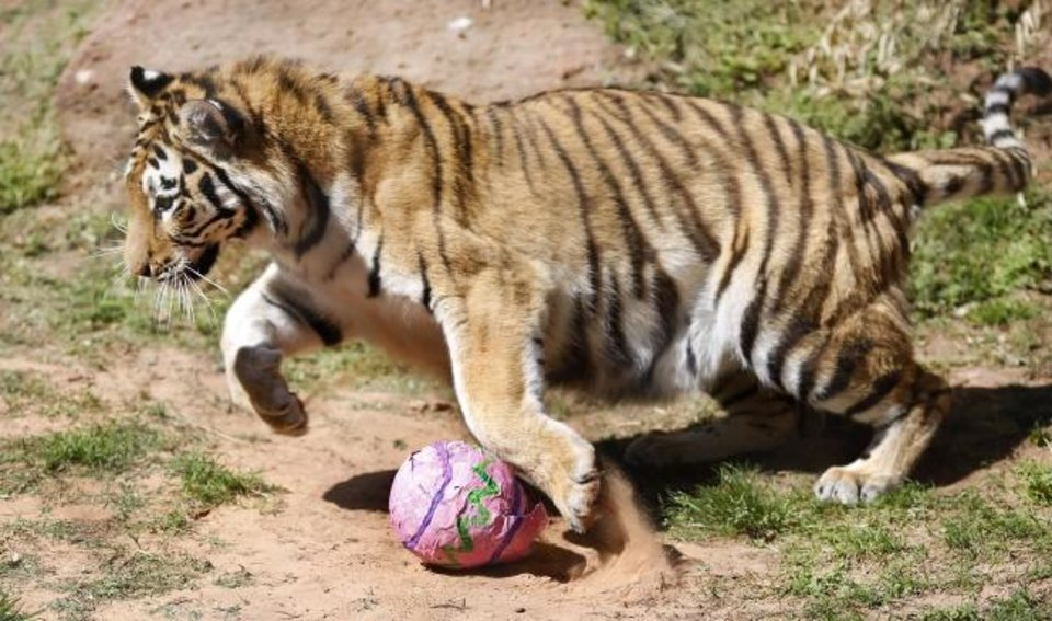Photo -  A playful tiger pounces on top and over this papier-mache egg filled with savory treats at the Oklahoma City Zoo on Friday. Once the animal determined the egg wasn't a threat, it turned around and snatched the egg in its jaws.