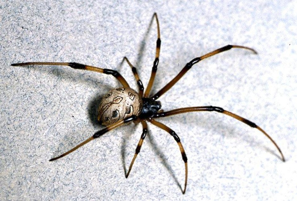 Photo - From University of California, Riverside, this photo shows a brown widow. The back of the brown widow features a geometric pattern and its underside features an hourglass shape like a black widow.