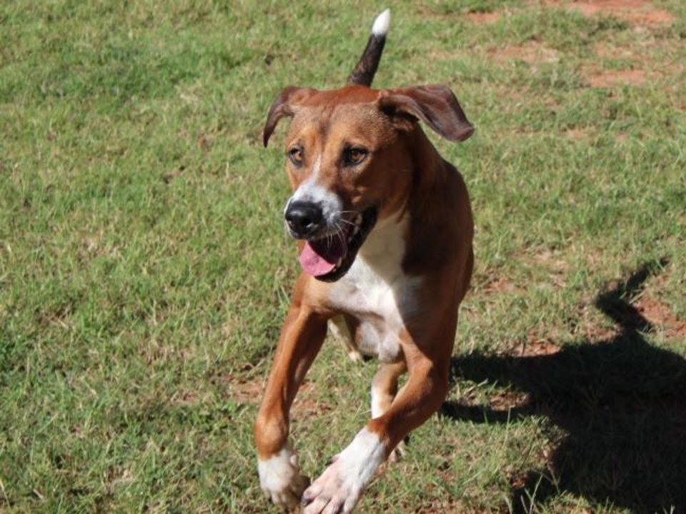 Photo -  Clayton is an active 5-year-old boy that walks great on a leash. He's friendly and cheerful  and definitely a staff and volunteer favorite. Clayton is available for adoption from the Edmond Animal Welfare Shelter, 2424 Old Timbers Drive. His adoption fee is $25. Call 405-216-7615. [PHOTO PROVIDED]