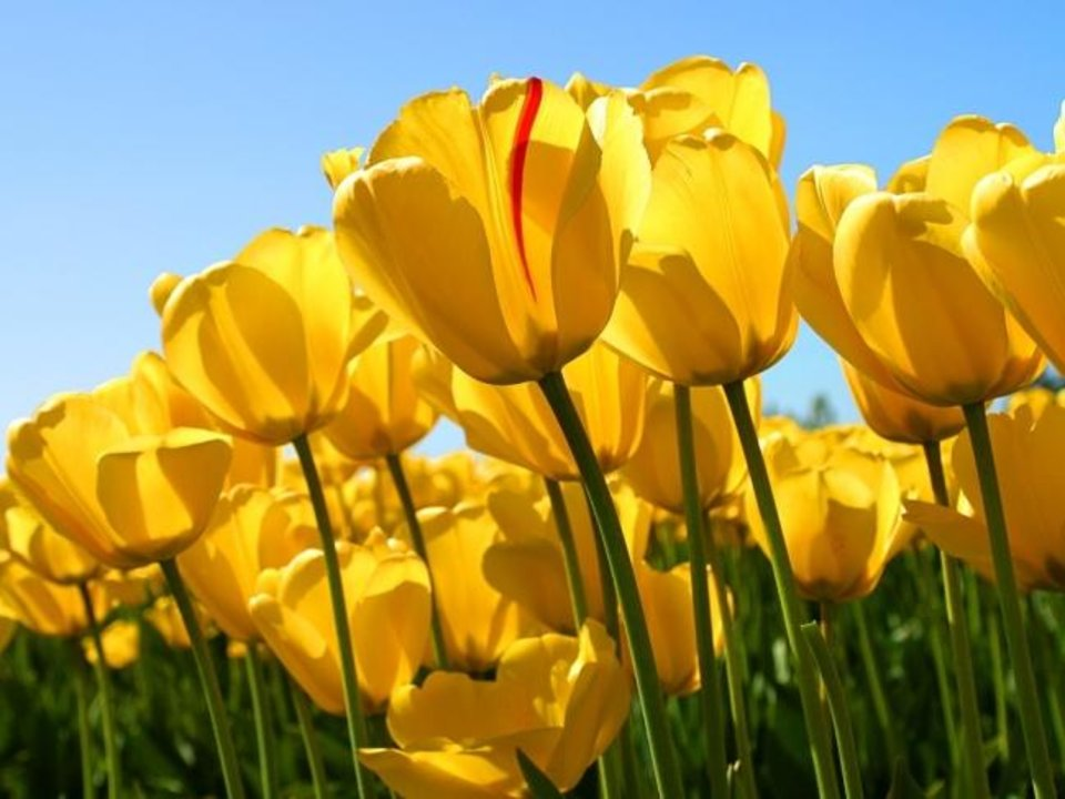 Photo -  Now is the time to plan for and plant spring bulbs. [OSU EXTENSION SERVICE]