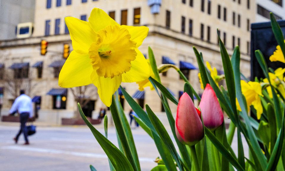 Photo -  The colors of spring begin to bloom Monday in downtown Oklahoma City. [Photo by Chris Landsberger, The Oklahoman]