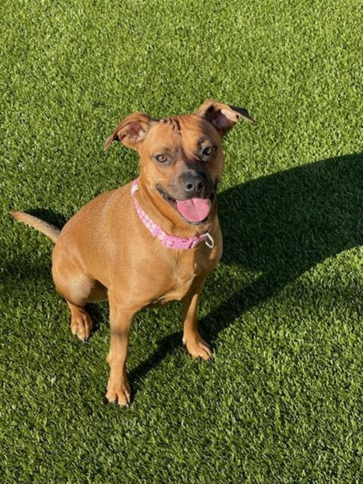 Photo -  Petunia is a medium-size, gentle sweetheart who is about 1 year old and a beagle mixed breed. She is a very pretty red fawn color. Petunia loves to hang out with her people and likes other dogs as long as they aren't too rough with her. She is very gentle on a leash and walks right by your side. Contact the Edmond Animal Shelter at 405-216-7615 to schedule an appointment to meet Petunia. [PHOTO PROVIDED]