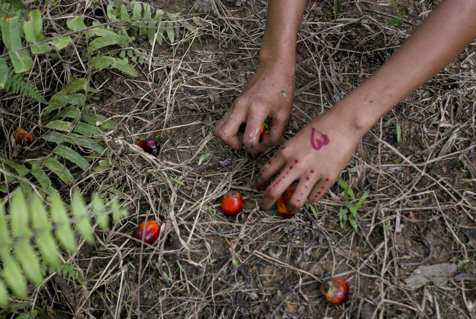 Photo -  A child collects palm kernels from the ground at a palm oil plantation in Sumatra, Indonesia, Monday, Nov. 13, 2017. Indonesia is the world's largest palm oil producer. (AP Photo/Binsar Bakkara)