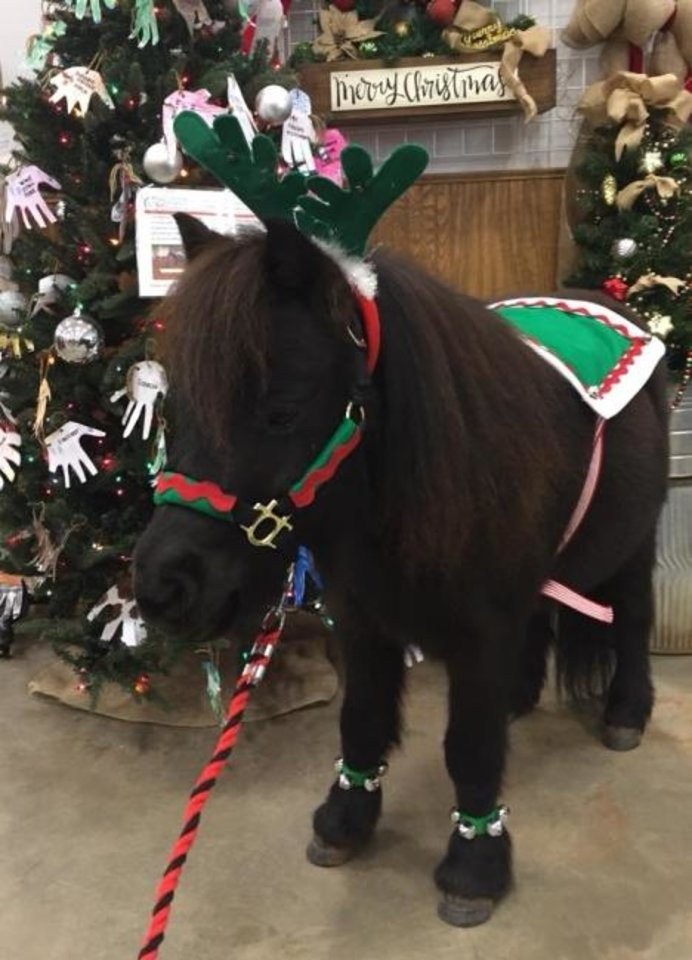 Photo -  BB, OSU's new miniature horse mascot, even dressed up at Christmas time. [Photo provided]