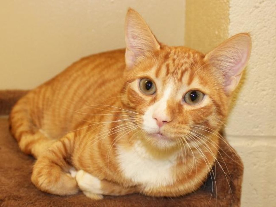 Photo -  Peter is a 7-month-old orange and white domestic shorthair. He is beautiful and friendly. Peter is available for adoption from the Edmond Animal Welfare Shelter, 2424 Old Timbers Drive. His adoption fee is $25. Call 405-216-7615. [PROVIDED]
