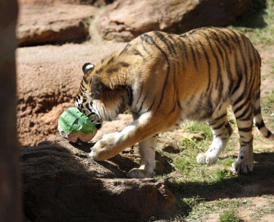 Photo -  A tiger presses its face and mouth into a colorful papier-mache egg in search of savory treats.