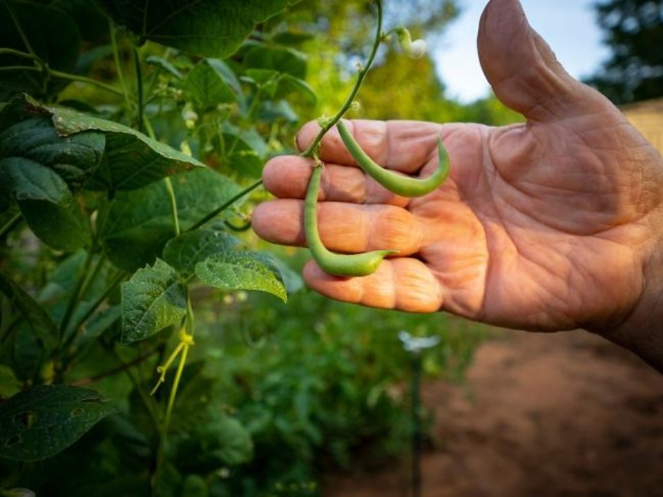 Photo -  Nolan Scheihing shows a grean bean growing in his garden in Guthrie. [TODD JOHNSON/AGRICULTURAL COMMUNICATIONS SERVICES]