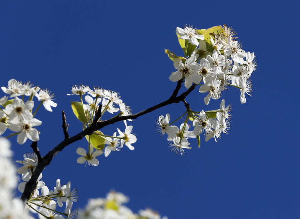 White Blossoms Clump Together On The Branches Of A Bradford Pear Tree Wednesday At Mar S Nursery In Oklahoma City Photo By Steve Sisney Oklahoman