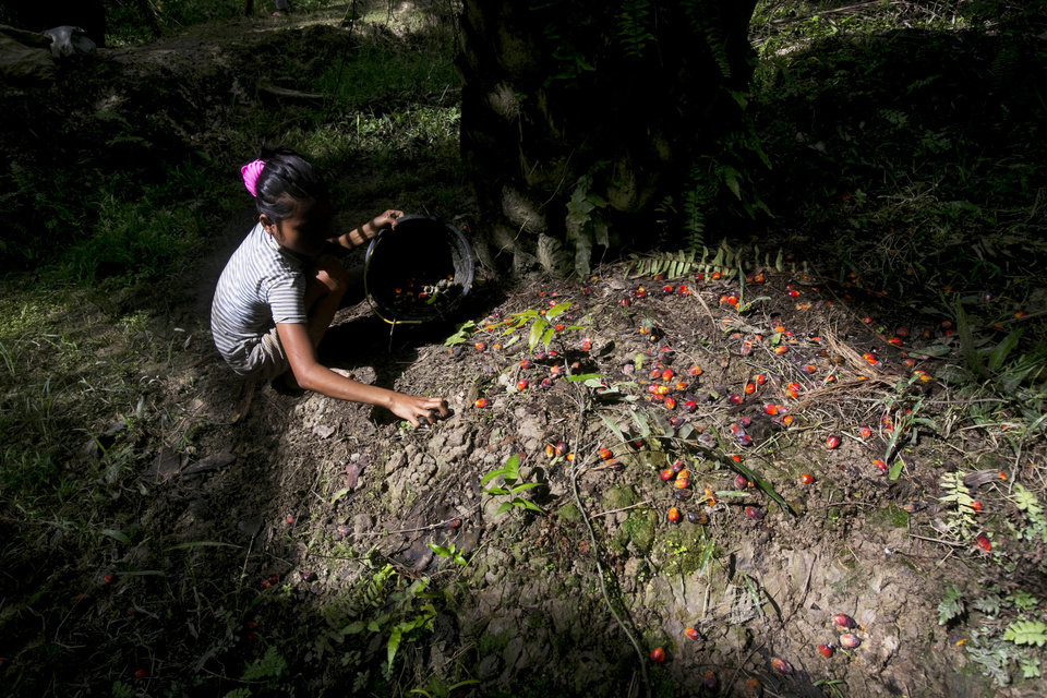 Photo -  A child collects palm kernels from the ground at a palm oil plantation in Sumatra, Indonesia, Monday, Nov. 13, 2017. (AP Photo/Binsar Bakkara)
