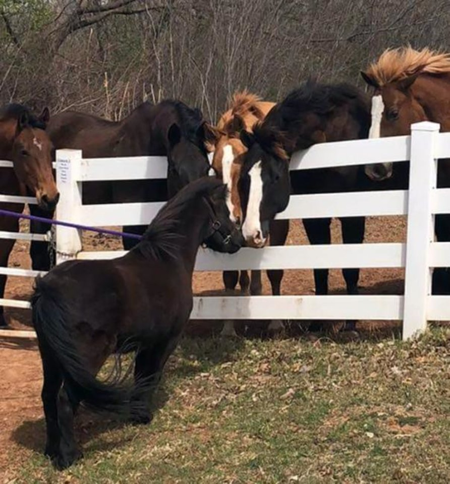 Photo -  BB, OSU's new miniature horse mascot, is joined by 11 full-size horses at Turning Point Ranch. [Photo provided]