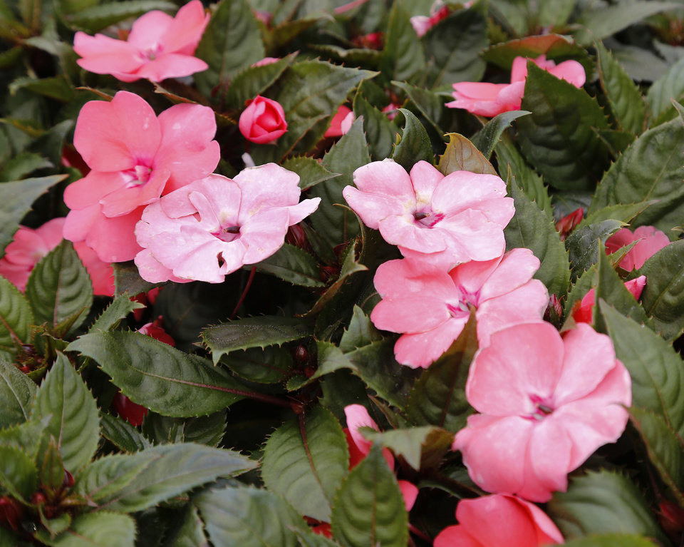 Photo -  Sun patiens (an impatiens hybrid) at Marcum's Nursery, 2121 SW 119. [JIM BECKEL/THE OKLAHOMAN]