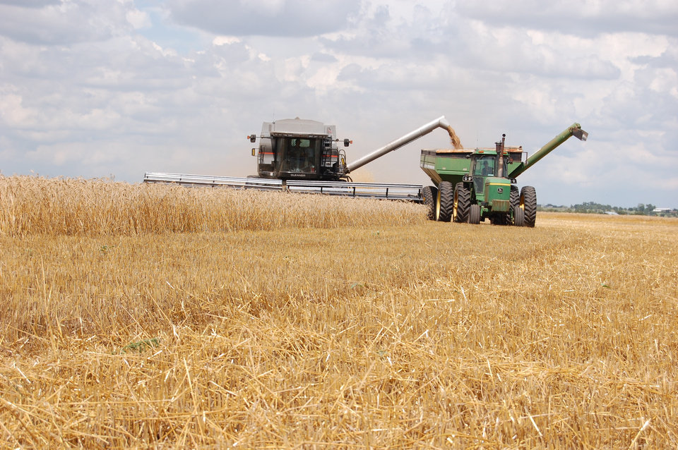 Photo -  A combine loads wheat onto a truck near Frederick in 2016. [Photo provided by the Oklahoma Wheat Commission]