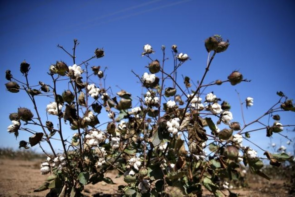 Photo -  Cotton has long been one of the most farmed crops in Harmon County, but the county is now seeing a new entrant to the legal agriculture market, marijuana. [Sarah Phipps/The Oklahoman]