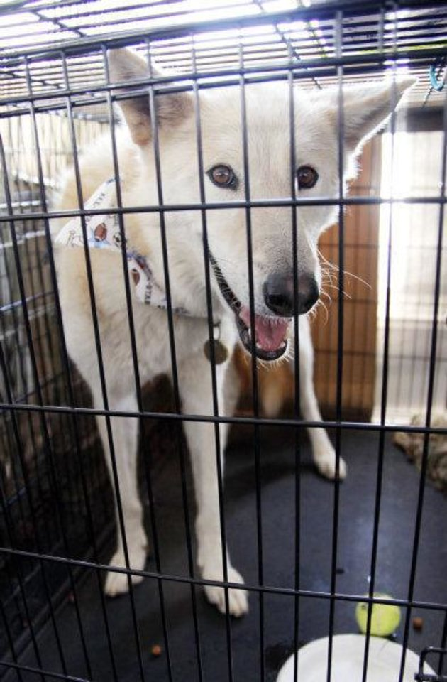 Image result for husky mix at shelter