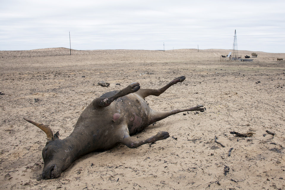 Photo - Dead cow near Laverne. Wildfires in northwest Oklahoma, Saturday March 11, 2017. Photo by Eriech Tapia, for The Oklahoman