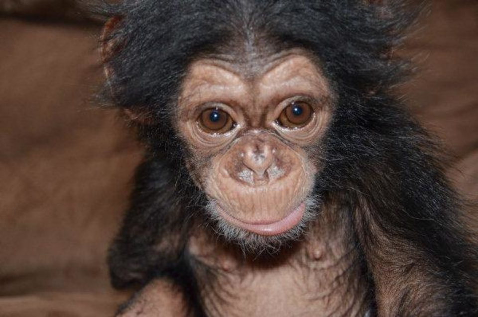 Photo - Siri the chimpanzee was adopted by the Oklahoma City Zoo after her mother - the oldest chimp on record to give birth - couldn't care for her. She is recovering and will be on public display in the coming weeks.  Dr. Jen DÕAgostino - PHOTO PROVIDED