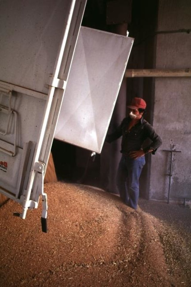 Photo -  A load of harvested wheat is deposited at a grain elevator in southwest Oklahoma. [THE OKLAHOMAN ARCHIVES]