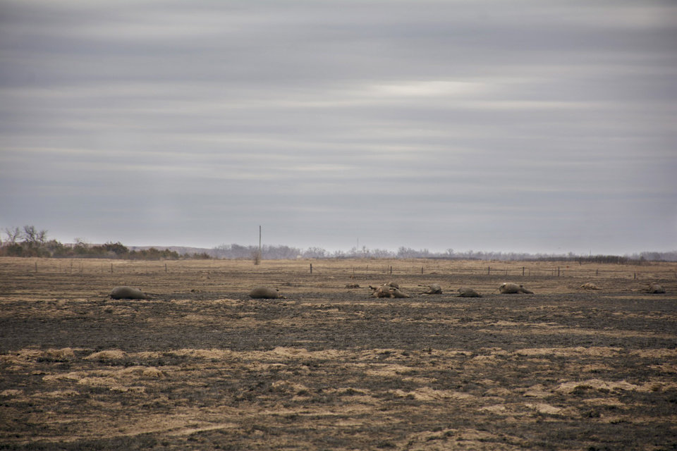 Photo - Dead cows in a field.  Wildfires in northwest Oklahoma, Saturday March 11, 2017. Photo by Eriech Tapia, for The Oklahoman