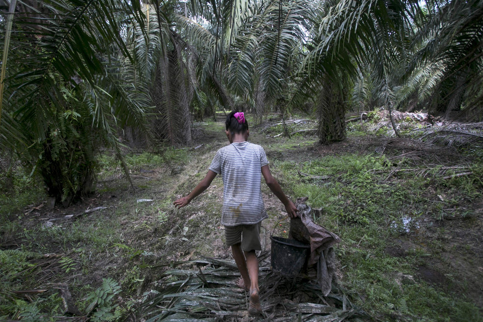 Photo -  A child carries palm kernels collected from the ground at a palm oil plantation in Sumatra, Indonesia, Monday, Nov. 13, 2017. (AP Photo/Binsar Bakkara)