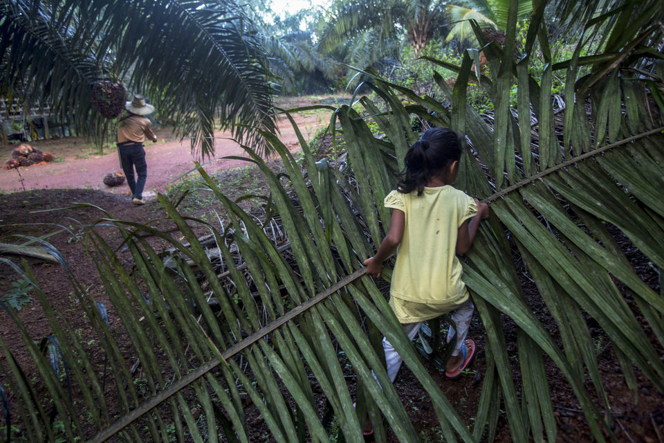 Photo -  A child helps her parents work on a palm oil plantation in Sabah, Malaysia, Monday, Dec. 10, 2018. With little or no access to daycare, some young children in Indonesia and Malaysia follow their parents to the fields, where they are exposed to toxic pesticides and fertilizers. (AP Photo/Binsar Bakkara)