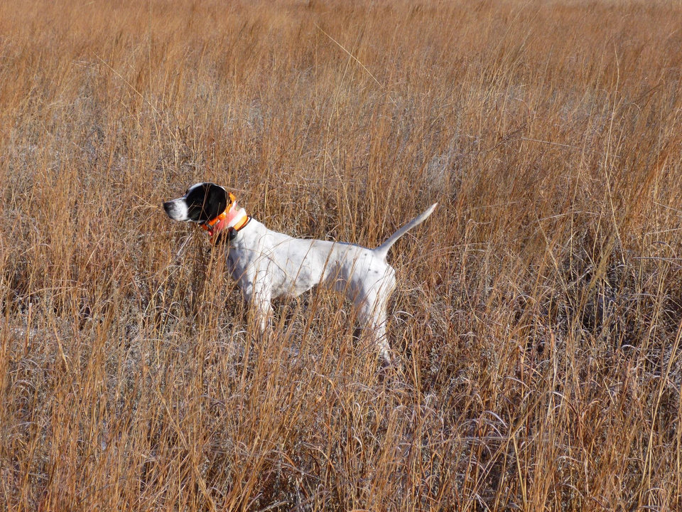 Photo -  An English Pointer is on the search for quail in northwest Oklahoma. Bird dogs should stay on point this season as the hunting should be even better than last season. [Photo by John Bellah]