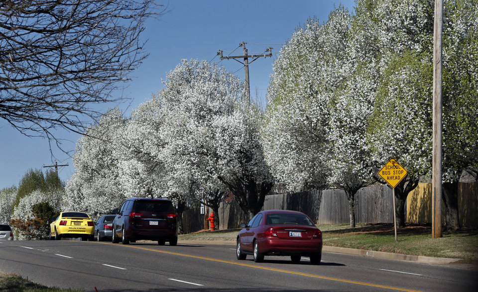 Photo -  Bradford pear trees bloom along SW 119th Street on Wednesday in Oklahoma City. [Photo by Steve Sisney, The Oklahoman]
