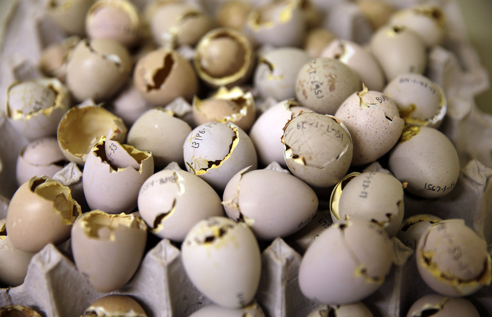 Photo -  Recently hatched greater prairie chicken eggs at the Sutton Center.