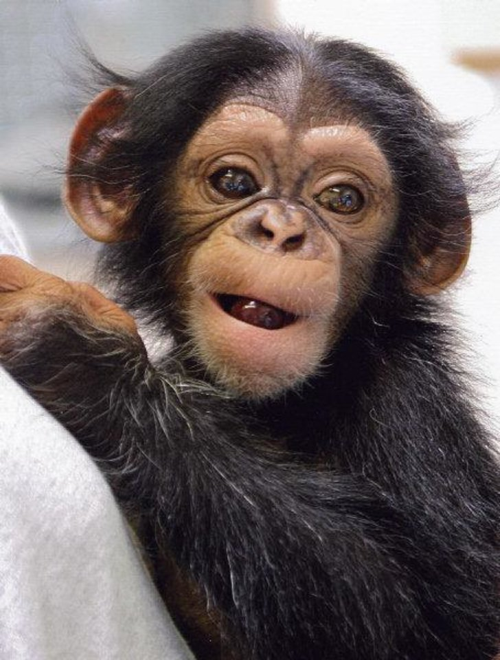 Photo - Siri the chimpanzee was adopted by the Oklahoma City Zoo after her mother - the oldest chimp on record to give birth - couldn't care for her. She is recovering and will be on public display in the coming weeks.  David Holbrook - PHOTO PROVIDED