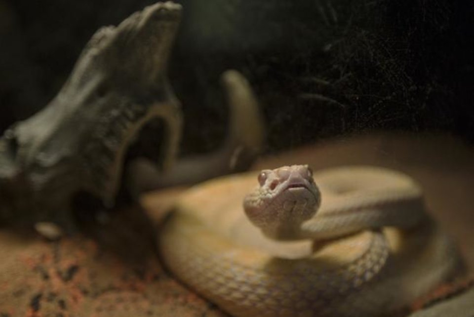 "Photo -  An albino western diamondback rattlesnake peers though the glass wall at the OKC Rattlesnake Museum in Oklahoma City in 2018. The museum is included in ""100 Things To Do in Oklahoma City Before You Die, 2nd Edition."" [Oklahoman Archive Photo]"