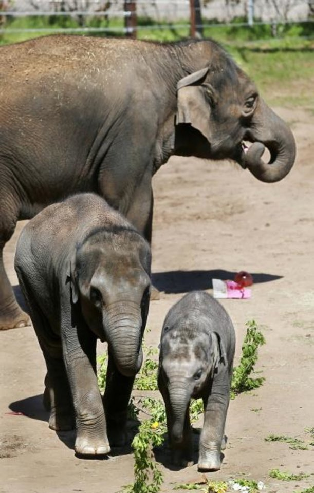 Photo -  Asha and her calves, Achara, left, and the baby, Kairavi, enjoy the extra plant food. All are female, Asian elephants.