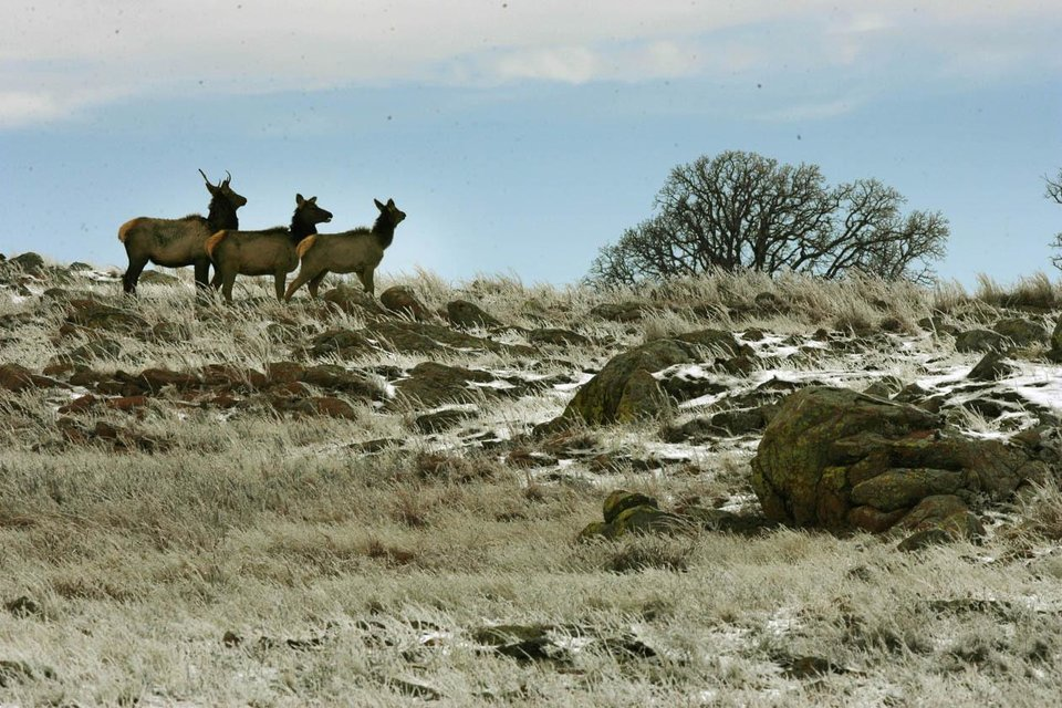 Photo - Elk walk through the Wichita Mountains Wildlife Refuge north of Lawton. (PAUL HELLSTERN, THE OKLAHOMAN)