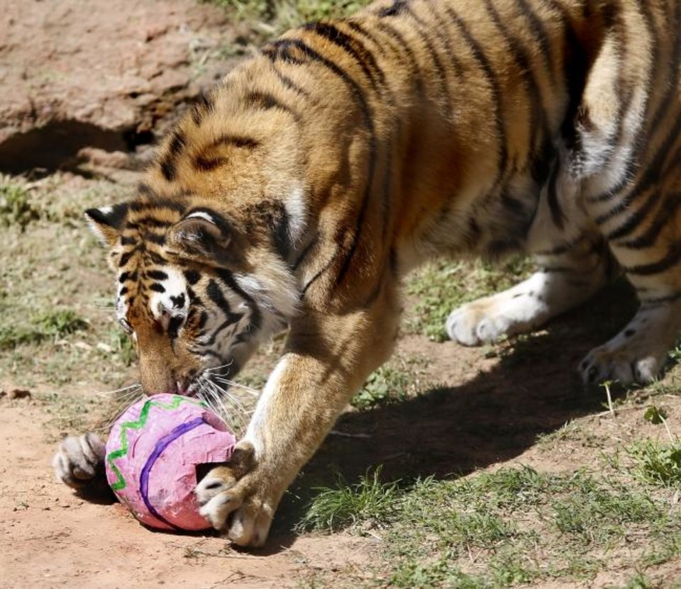 Photo -  A tiger sniffs a papier-mache egg before breaking into it to get at the contents.